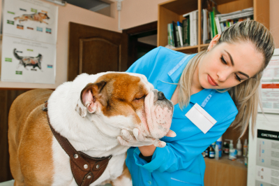 veterinarian checking up the dog